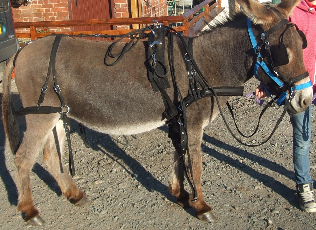 Donkeys for sale | Donkey Tack for sale | Stonehill Donkey's find a